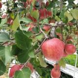 [햇살찬산사과]부사(미얀마) 5kg(15과) 2019년 사과