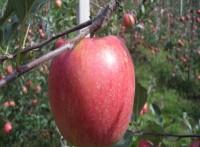 [햇살찬산사과]부사(미얀마) 10kg(38~40과)껍질째 먹는 山사과