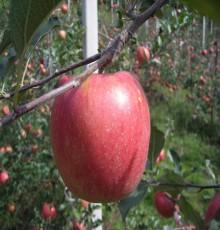 [햇살찬산사과]부사(미얀마) 10kg(38~40과)껍질째 먹는 山사과 10+1 덤행사