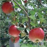 [햇살찬산사과]시나노 스위트 10kg(40과)껍질째 먹는 산사과
