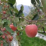 [햇살찬산사과]부사(미얀마)10kg(38~40과)껍질째 먹는 山사과★10+1 덤증정