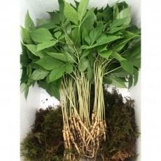 수경재배 새싹 삼 (中) 50뿌리 1~2년근 선물용