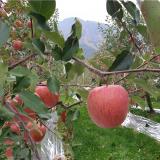 [햇살찬산사과]껍질째먹는 햇살찬 고랭지산사과 3kg (12~13과) 2020년 사과★10+1 덤증정