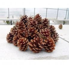 춘양목 솔방울 (500개)