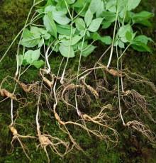 산양산삼(9년~10년이상:1뿌리)