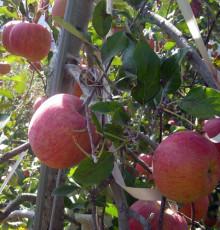 [햇살찬산사과]부사(미얀마) 5kg(19~20과)껍질째 먹는 山사과 10+1 덤행사