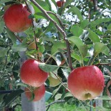 [햇살찬산사과]시나노 스위트 10kg(36과)껍질째 먹는 山사과