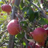[햇살찬산사과]부사(미얀마) 흠집사과 10kg(26~30과) 2020년 사과